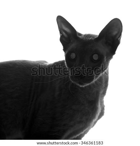 shorthair oriental cat close up silhouette, peterbald - stock photo