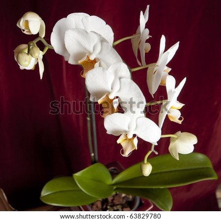 Shot from above, a phalaenopsis orchid in a red square pot. - stock photo