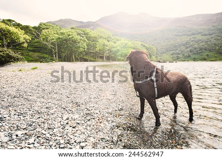 Shot of a Chocolate Labrador by Lake - stock photo