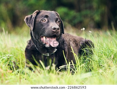 Shot of a Chocolate Labrador Lying Down - stock photo