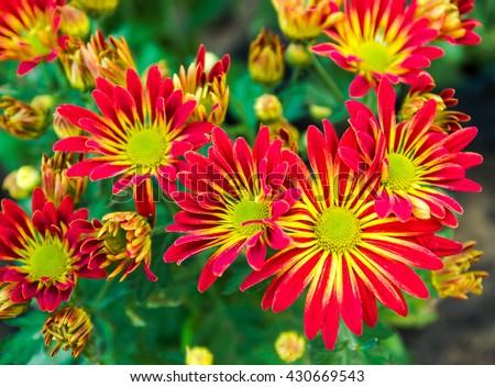 Shot of beauty chrysanthemum blooming in garden. - stock photo
