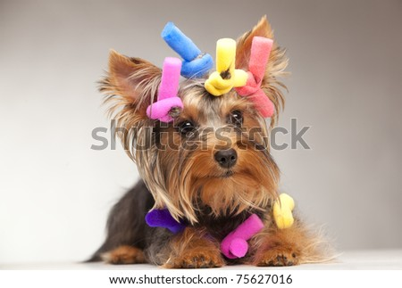 Shot of young Yorkshire Terrier dog over grey background - stock photo