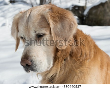 Shoulder shot of an old Golden Retriever as if he was thinking about something important - stock photo