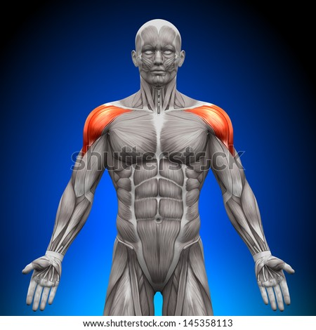 Shoulders / Deltoid - Anatomy Muscles - stock photo