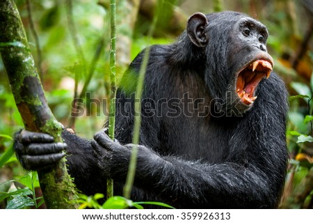 Shouting a Angry Chimpanzee. The chimpanzee (Pan troglodytes)  shouts in rain forest, giving signs to the relatives. - stock photo