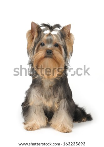 Show class puppy of the Yorkshire Terrier over white - stock photo