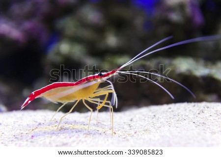 Shrimp standing on small pebbles of sea bottom, diving, prawn with stones and coral reef on background, underwater wildlife, Lysmata graham  - stock photo