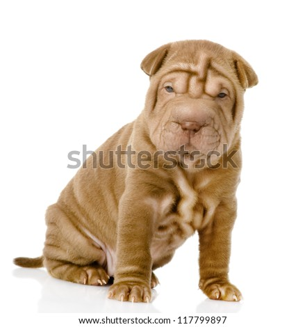 shrpei puppy dog looking at camera. isolated on white background - stock photo