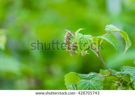 Shrub with green raspberries. - stock photo