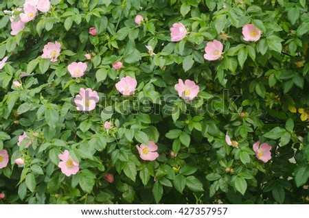 shrub with pink roses in garden - stock photo