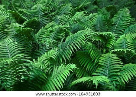 Shrubs fern. Background. - stock photo