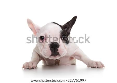 shy and sad french bulldog puppy on white background - stock photo
