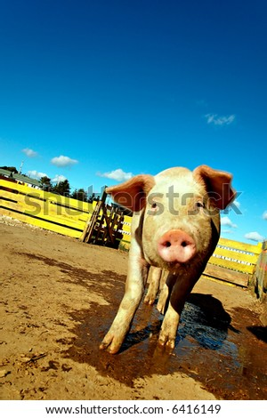 shy farm pig getting close tilting head drooling - stock photo
