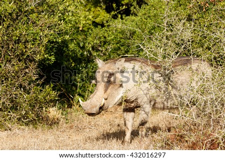 Shy Look -Phacochoerus africanus - The common warthog is a wild member of the pig family found in grassland, savanna, and woodland in sub-Saharan Africa. - stock photo