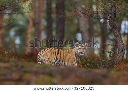 shy tiger  - stock photo