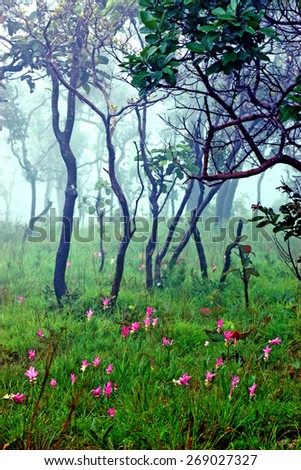 Siam tulip pink bloom season. Morning fog in forest (Focus on the foreground flower clusers Released mist to blur the background.) - stock photo