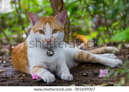 Siamese Cat in garden ,Thailand  - stock photo