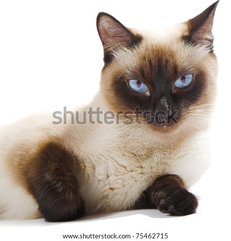 Siamese cat isolated on the white background - stock photo