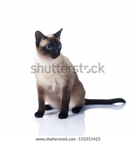 Siamese cat isolated on white background - stock photo