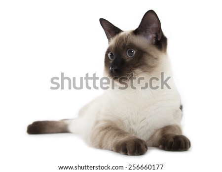 Siamese cat isolated over white background - stock photo