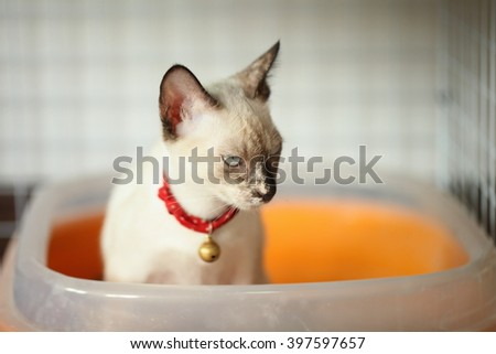 Siamese cat kitten .Cat feces.(Seal brown,Siamese Cat) - stock photo