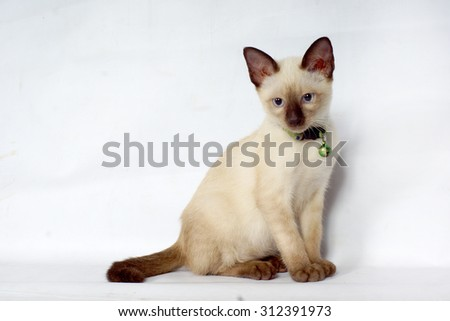 Siamese cat kitty  - stock photo