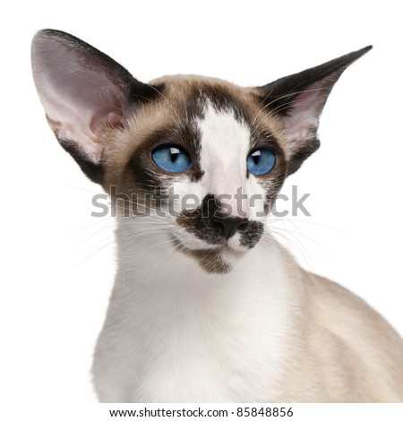 Siamese cat, 7 months old, headshot in front of white background - stock photo