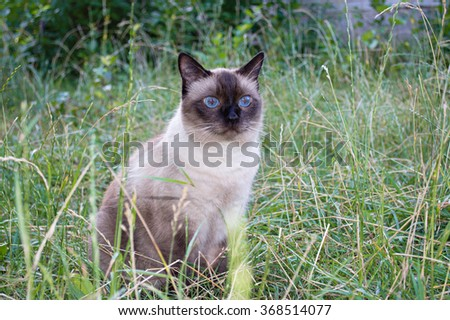 Siamese cat on the grass - stock photo