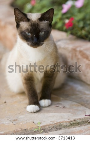 Siamese Cat Sitting - stock photo