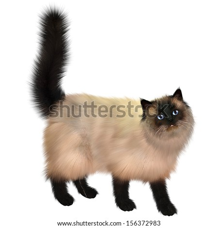 Siamese Cat - The Siamese cat is very vocal and has a cream body and dark colored face, ears, tail and legs. - stock photo