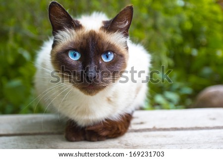 Siamese cat warily watching, sitting on a wooden bench - stock photo