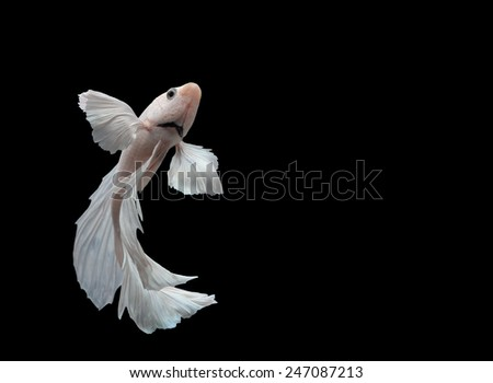 siamese fighting fish, betta isolated on black background. - stock photo