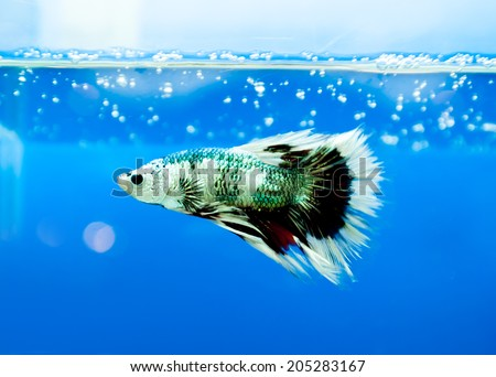 siamese fighting fish , betta isolated on blue background. - stock photo