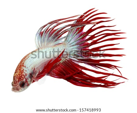 siamese fighting fish , betta isolated on white background - stock photo