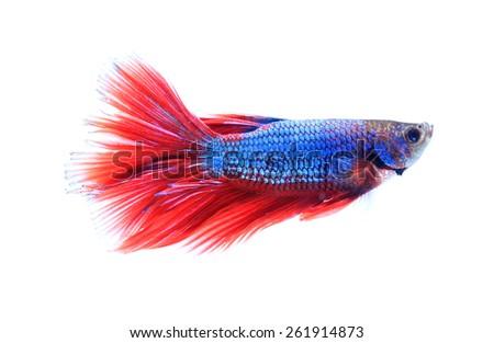 siamese fighting fish , betta isolated on white background. - stock photo