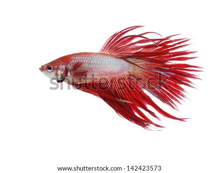 Siamese fighting fish isolated on white background, Crown Tail Side view - stock photo