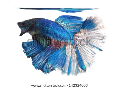 Siamese fighting fish isolated on white background, Half Moon Side View Left - stock photo