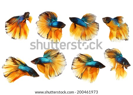 Siamese fighting fish, yellow and blue betta isolated on white background - stock photo
