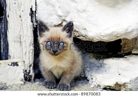 Siamese kitten - stock photo
