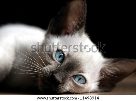Siamese kitten with blue eyes rests on the floor - stock photo