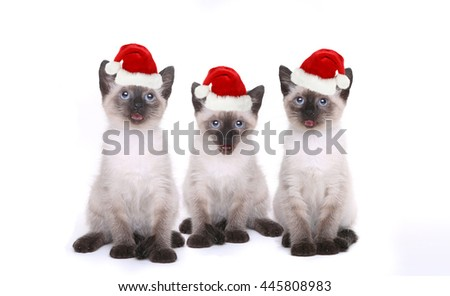 Siamese Kittens Having a Birthday Celebration - stock photo