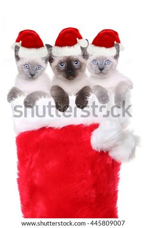 Siamese Kittens in a Stocking Wearing Santa Hats - stock photo