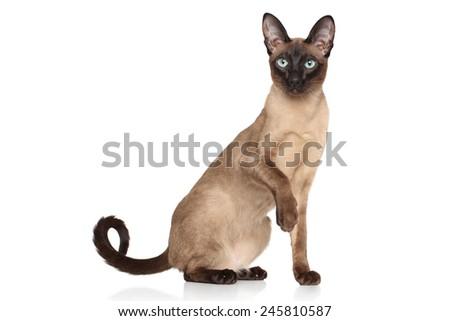 Siamese Oriental cat on white background - stock photo