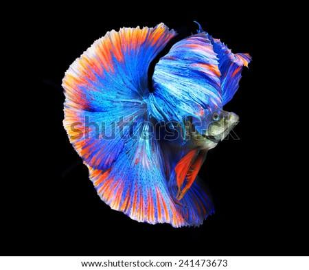 Siamess fighting fish,colorful half moon. - stock photo