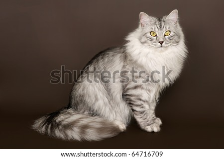 Siberian black silver tiger young male cat on brown background - stock photo