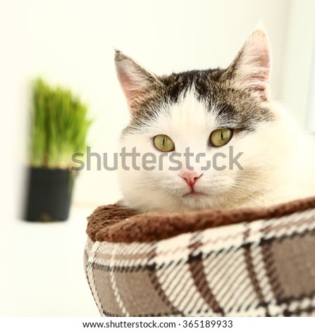 siberian breed cat close up portrait on the windowsill lay in cat bed and grass sprouts in the pot on background - stock photo