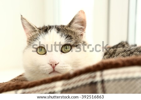 siberian breed cat close up portrait on the windowsill lay in cat bed close up expressive portrait - stock photo