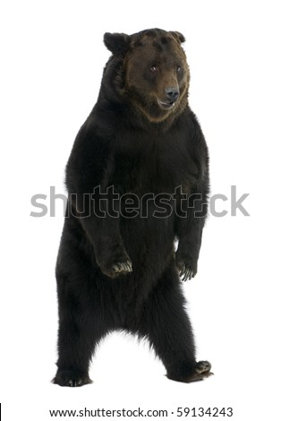 Siberian Brown Bear, 12 years old, standing in front of white background - stock photo