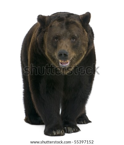 Siberian Brown Bear, 12 years old, walking against white background - stock photo