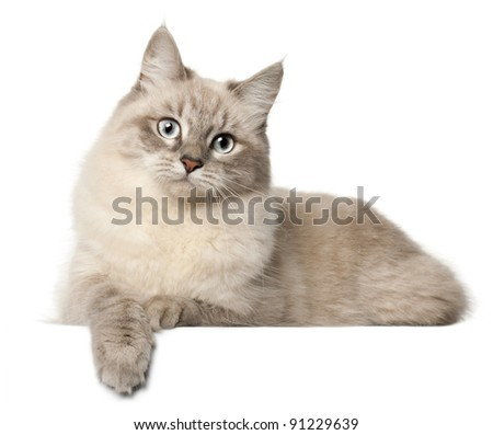 Siberian cat, in front of white background - stock photo
